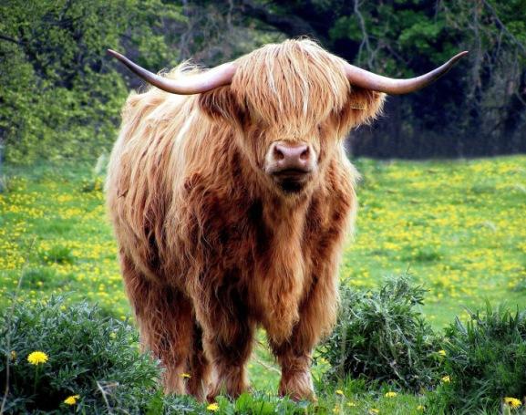 cow-431729_1920
